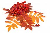 image of rowan berry  - Raceme ripe rowan berries and autumn leaves on a white background - JPG