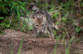 stock photo of coyote  - Coyote Pup  - JPG