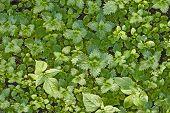 stock photo of nettle  - green nettles - JPG