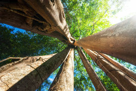 image of rainforest  - Amazing sunny day at rainforest with giant banyan tropical tree and sunbeams - JPG