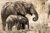 picture of adolescent  - Two African elephants adolescent and baby standing and eating at Lake Manyara National Park Tanzania - JPG