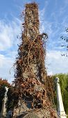 stock photo of tombstone  - Tall tombstone at cemetery covered with ivy - JPG