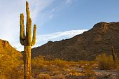 stock photo of ocotillo  - A cactus in the Arizona desert against a blue sky - JPG
