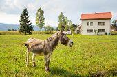 stock photo of wild donkey  - Donkey grazing on a ranch - JPG