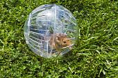 pic of gopher  - Rodent in a hamster ball wanting to go down gopher hole so close but so far away - JPG