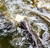 pic of catfish  - Sutchi catfish  - JPG