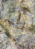 picture of fish pond  - image of feeding many of wild carp fish in pond - JPG