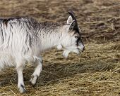 picture of baby goat  - baby goat walking and shewing on a straw - JPG