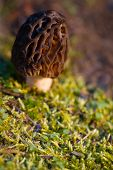 image of morels  - A wild morel mushroom grows in the mossy forest of the Pacific Northwest of Washington - JPG