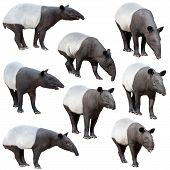 image of tapir  - Malayan tapir or Asian tapir collection isolated on white background - JPG