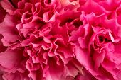 stock photo of carnation  - A beautiful pink carnation flower close up - JPG