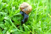 picture of creeping  - The Snail Creeps On A Green Grass - JPG