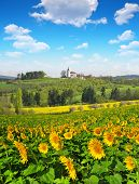 image of husbandry  - Spring landscape with sunflower field and blue sky - JPG