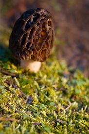 foto of morels  - A wild morel mushroom grows in the mossy forest of the Pacific Northwest of Washington - JPG