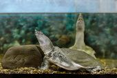 picture of turtle shell  - Image of freshwater exotic Chinese softshell turtle - JPG