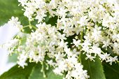 picture of elderberry  - Pure white and yellow blossoming European Elderberry in the spring season - JPG