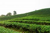 stock photo of debonair  - The tea farm at Mae Salong Chaingmai Thailand - JPG