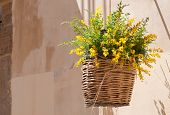 foto of broom  - Wicker basket full of blooming broom hanging by the wall of country house - JPG