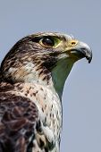 image of falcons  - Close up head portrait of a pere saker falcon hybrid against a natural blue sky background in an upright vertical format - JPG