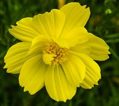 picture of cosmos flowers  - The single Cosmos spp flower color yellow - JPG