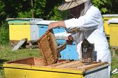 image of larva  - Experienced senior apiarist cutting out piece of larva honeycomb in apiary in the springtime - JPG