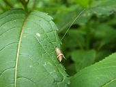 stock photo of longhorn  - Male Longhorn moth on leaf in a woodland glade - JPG