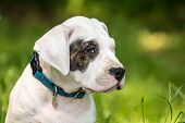 stock photo of dog eye  - Dogo argentino puppy with black eye - JPG
