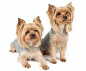 picture of yorkshire terrier  - Two cute purebred Yorkshire Terriers over white - JPG