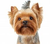 stock photo of yorkshire terrier  - Portrait of the Yorkshire Terrier with shiny nose over white - JPG