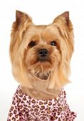 pic of yorkshire terrier  - Portrait of the Yorkshire Terrier in coveralls with stylish haircut over white - JPG