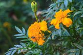 picture of marigold  - Marigold  flowers field, summer in garden Thailand ** Note: Visible grain at 100%, best at smaller sizes - JPG