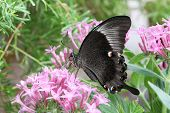 foto of emerald  - Emerald Peacock Butterfly sitting on delicate pink flowers - JPG