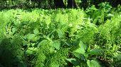 foto of nettle  - Forest plants on the meadow - JPG