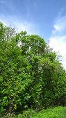 stock photo of linden-tree  - Edge of mixed maple - JPG