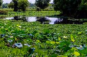 stock photo of water lily  - A Beautiful Lake of Yellow Lotus  - JPG