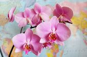 pic of geography  - branch of a blossoming pink orchid in geography class - JPG