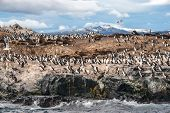 image of sea lion  - King Cormorant colony sits on an Island in the Beagle Channel - JPG