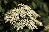 picture of elderberry  - Marco photo of Black Elderberry flowers (Sambucus nigra). ** Note: Shallow depth of field - JPG
