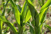 stock photo of maize  - Young maize plants in a dry field in summer - JPG