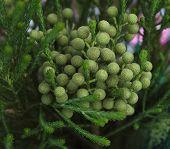 image of plant species  - Berzelia lanuginosa is a species of flowering plant in the family Bruniaceae - JPG