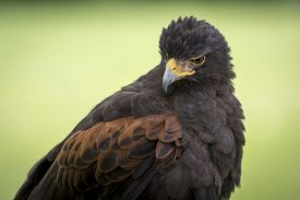 stock photo of hawk  - Portrait of a Harris