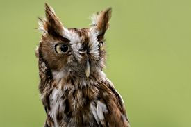 stock photo of screech-owl  - Portrait of an Eastern Screech Owl . Found wherever trees are and they