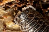 picture of woodlouse  - Closeup on Woodlouse  - JPG
