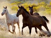 stock photo of wild horses  - three horses two dark and one white running throgh the desert freely - JPG