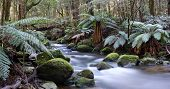 Panorama of river in a rainforest of ancient myrtle beech trees and tree ferns.  A bridge is constru