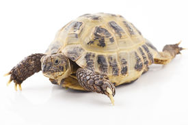 stock photo of russian tortoise  - Russian tortoise on a shite background Focus is shallow - JPG