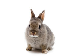 foto of bunny rabbit  - Cute Netherland Dwarf bunny over white background - JPG