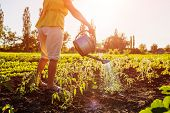 Farmer Watering Tomato Seedlings From A Watering Can At Sunset In Countryside. Agriculture And Farmi poster