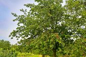 Red And Sweet Cherry Trees In Orchard - Branch In Early Summer. Ripening Cherries On Orchard Tree. poster