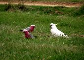 picture of king parrot  - Two gallahs and a cockatoo in a feild - JPG